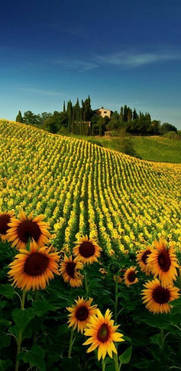 les-champs-de-tournesols-en-toscane-séjour-en-toscane-visiter-la-toscane-beau-paysage