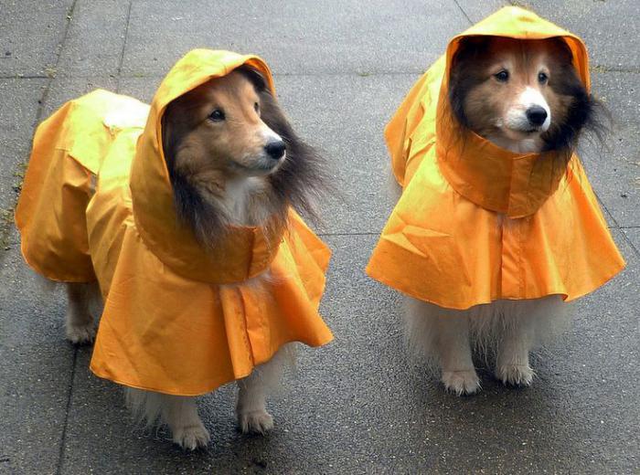 manteau-pour-chien-deux-jolis-chiens-avec-des-manteaux-de-pluie