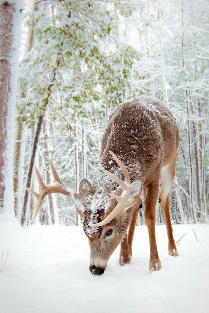 paysage-sous-la-neige-paysage-canadien-cerf