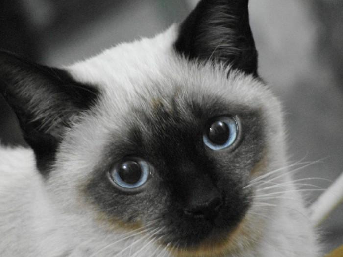 chats siamois les chats royaux en 40 photos magnifiques. Black Bedroom Furniture Sets. Home Design Ideas
