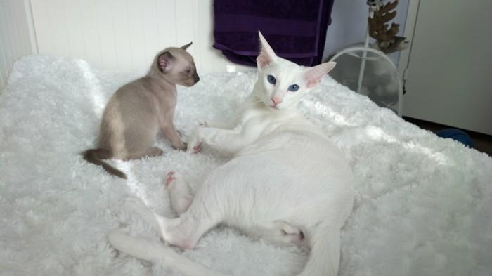 bébé-chat-chats-siamois-caractère-chat-siamois-prix-petit-chat-mignon