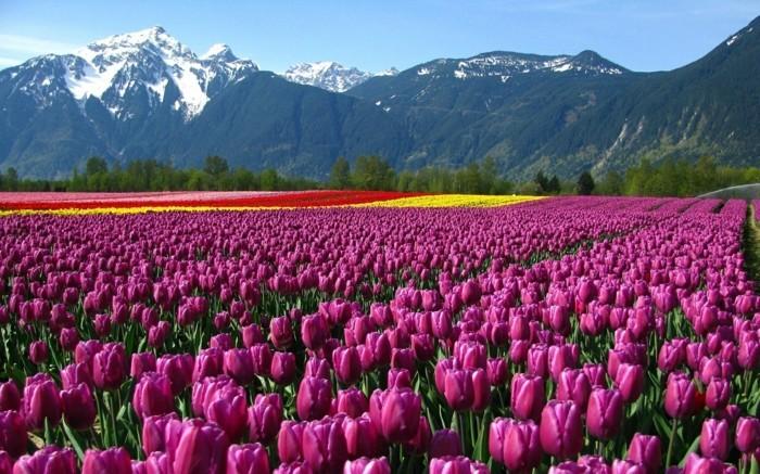 belles-images-paysage-fleuri-photo-emouvante-nature-tulips