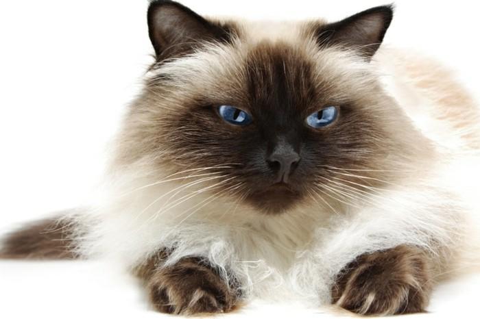 chat-siamois-caractère-chat-siamois-prix-chat-trop-mignon-petit-chat-mignon