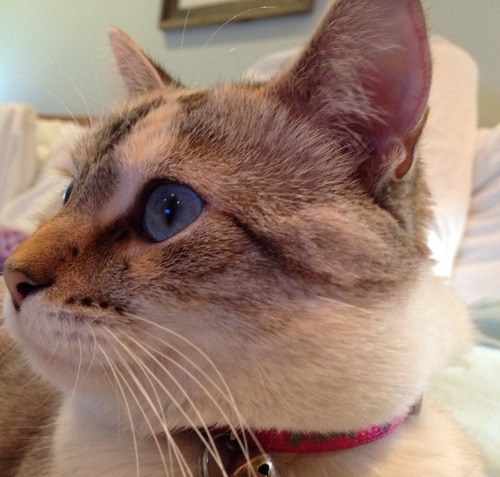 chaton-mignon-chats-mignons-chats-siamois-coloriage-chat