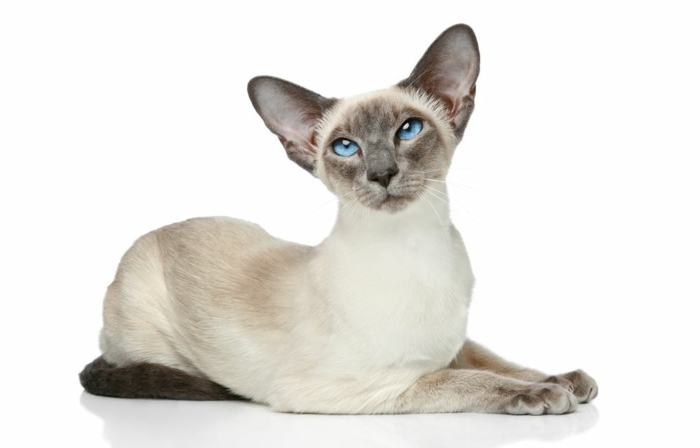 chaton-mignon-chats-siamois-caractère-chat-siamois-prix-simoi-siamoise