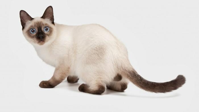 chats-siamois-caractère-chat-siamois-prix-bébé-chat-coloriage-de-chat