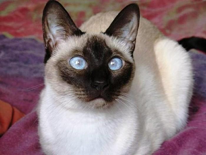 chats-siamois-caractère-chat-siamois-prix-coloriage-chat-chaton-mignon