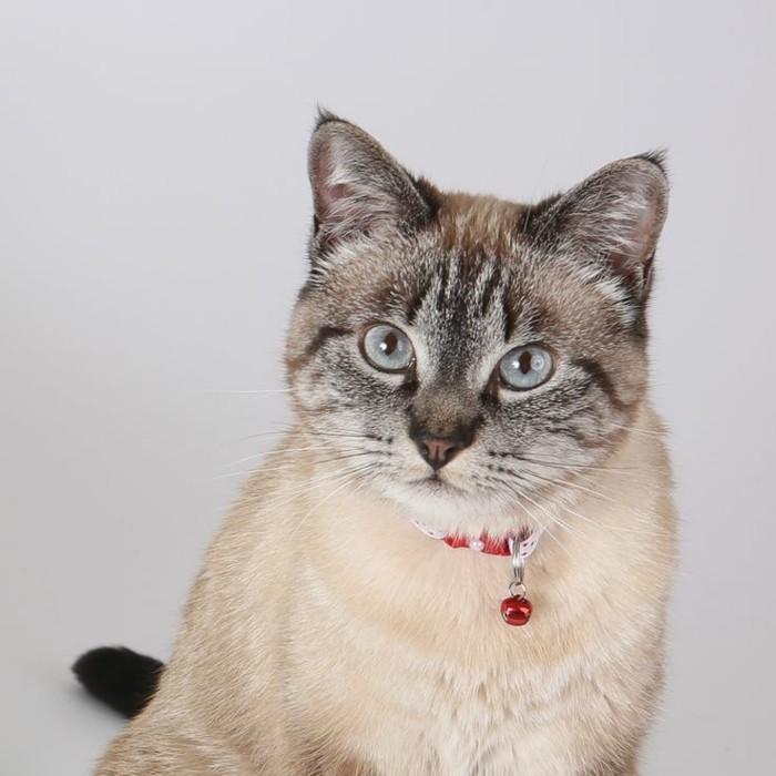 chats-siamois-chat-siamois-prix-chat-siamois-caractère