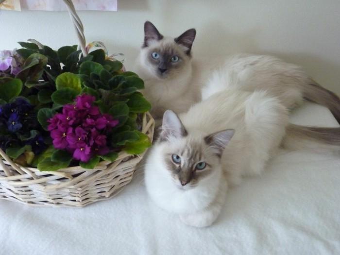 chats-siamois-chat-trop-mignon-petit-chat-mignon-siamoi-siamoise