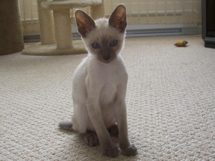 chats-siamois-chaton-mignon-image-de-chat-trop-mignon-chats-mignons