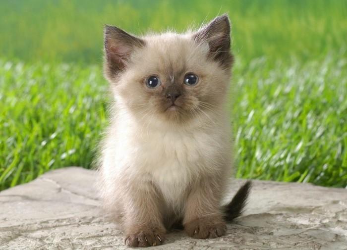 chats-siamois-chaton-trop-mignon-petit-chat-mignon-chat-siamois-prix