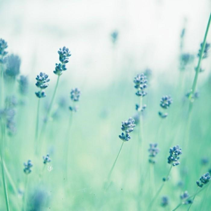cool-idée-belles-images-gratuites-photos-de-la-nature-lavande-beauté-en-bleu