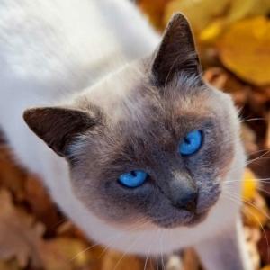 Chats siamois - les chats royaux en 40 photos magnifiques!