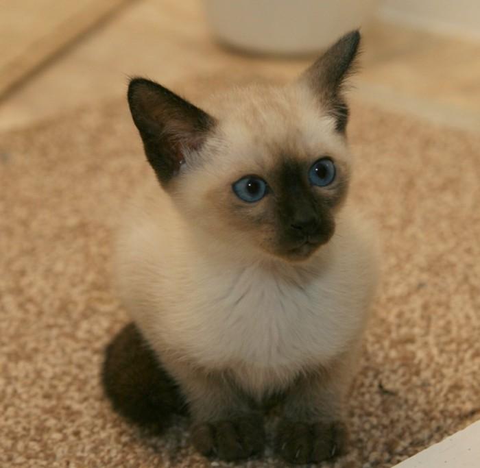 image-mignonne-chats-siamois-caractère-chat-siamois-prix-siamoise