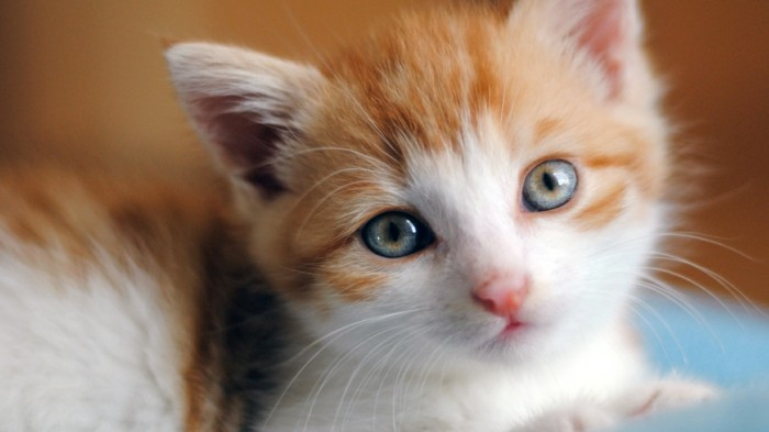 Meilleur photo du chat mignon c 39 est a vous de d cider - Enlever les puces sur un chaton ...