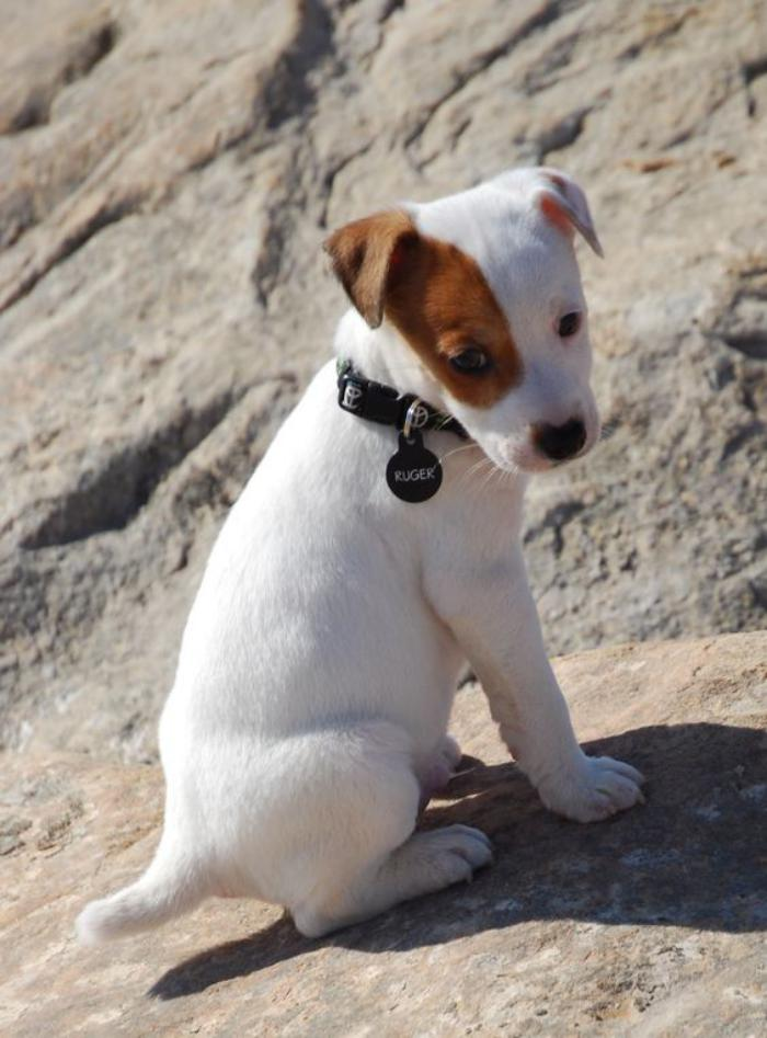 jack-russell-blanc-chiot-jack-russell-terrier