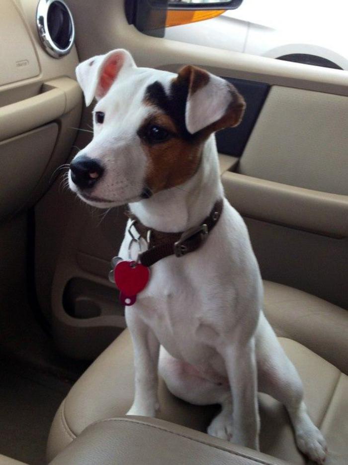 jack-russell-caractere-un-chien-qui-aime-les-aventures