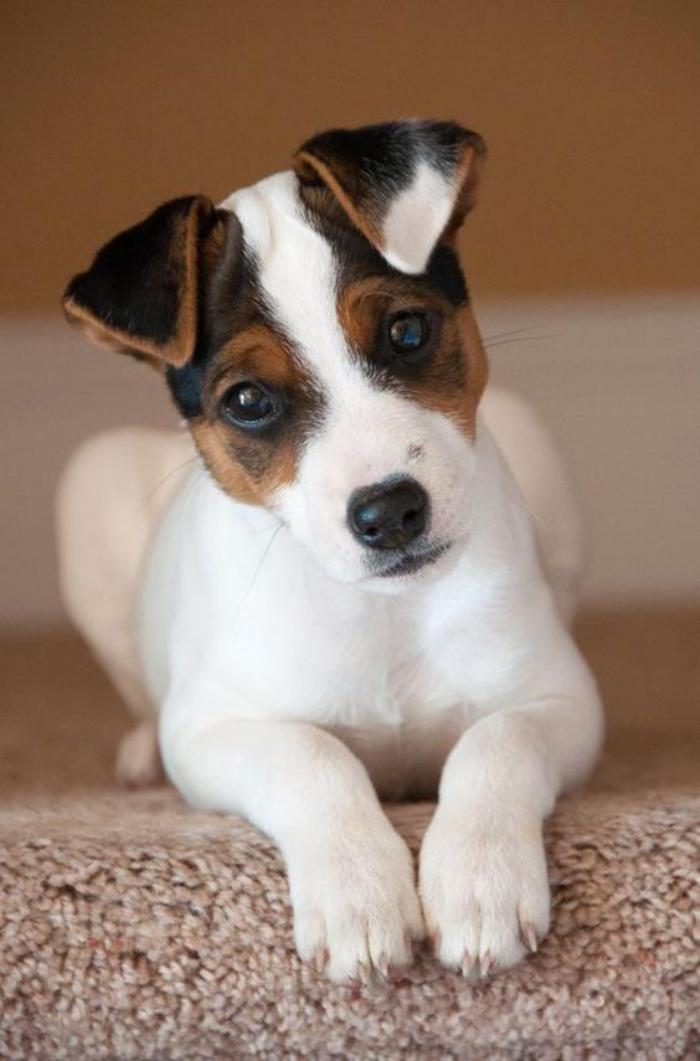 jack-russell-chien-super-mignon