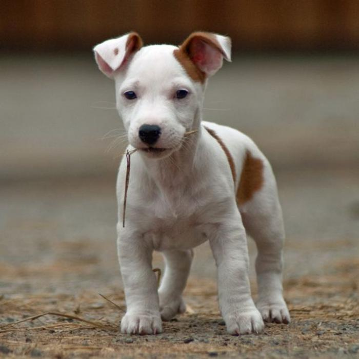 jack-russell-chiot-jack-russel-charmant