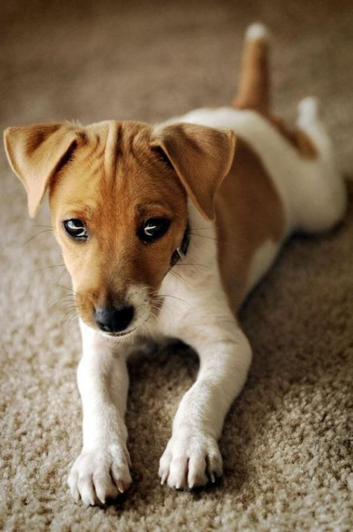 jack-russell-chiot-jack-russel-triste