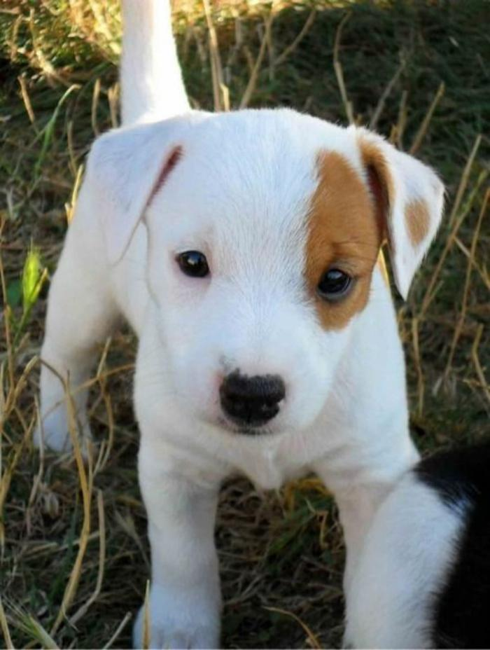 jack-russell-chiot-jack-russell-adorable