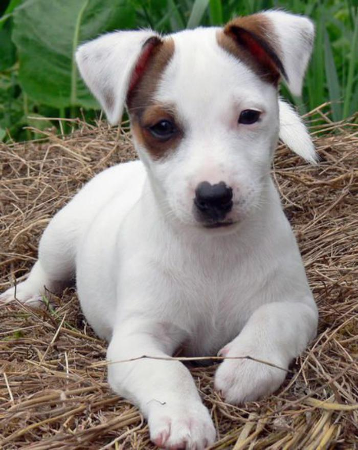 jack-russell-chiot-mignon-jack-russell-blanc