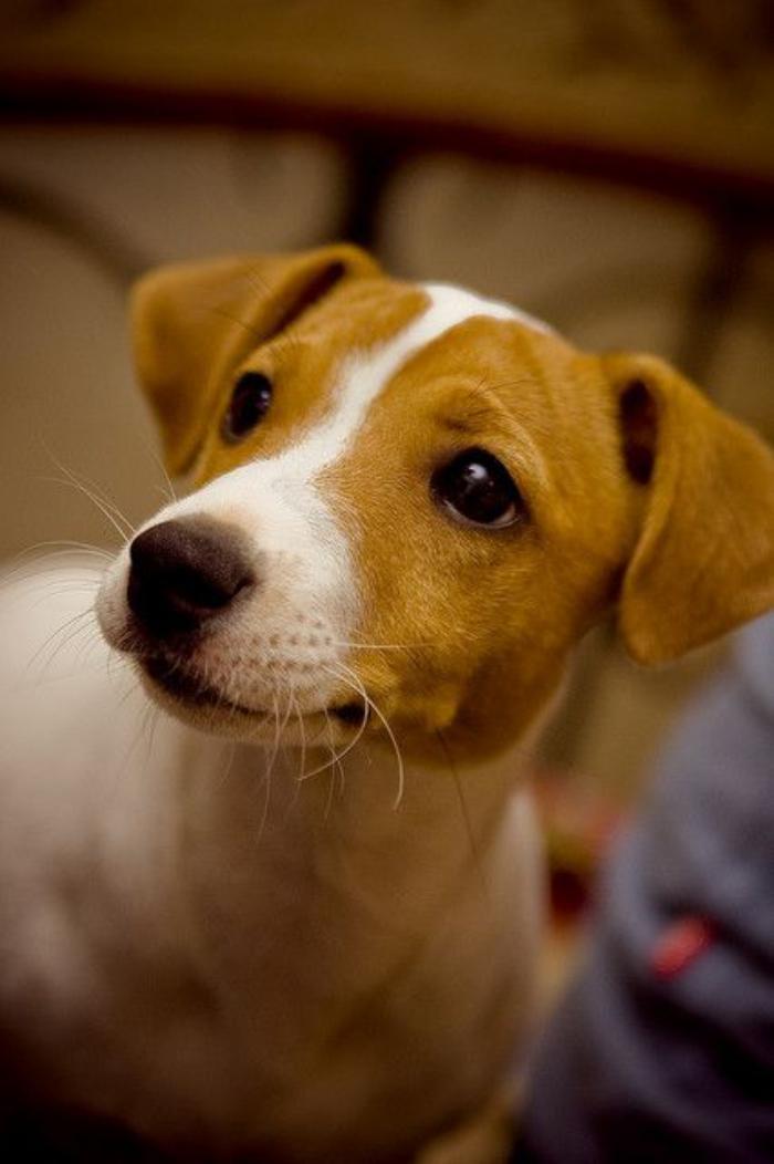 jack-russell-elevage-un-chien-fidèle-et-amusant