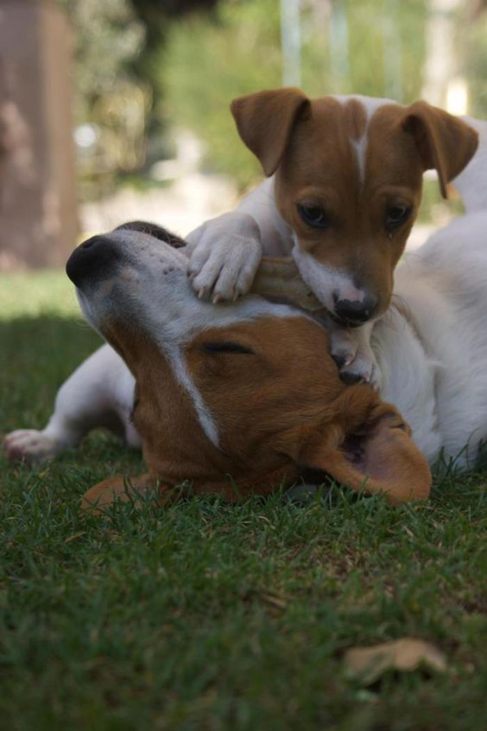 jack-russell-elever-jack-russel-chien