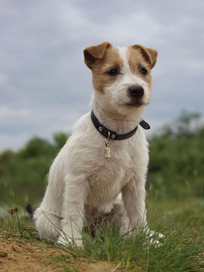 jack-russell-jack-russel-poil-long