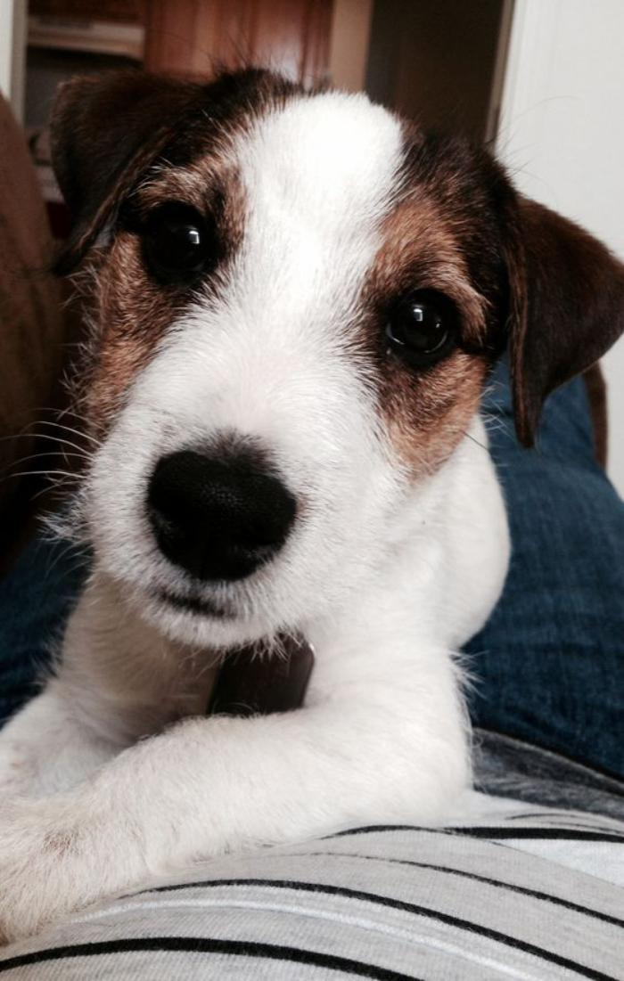 jack-russell-le-jac-russell-qu'on-aime