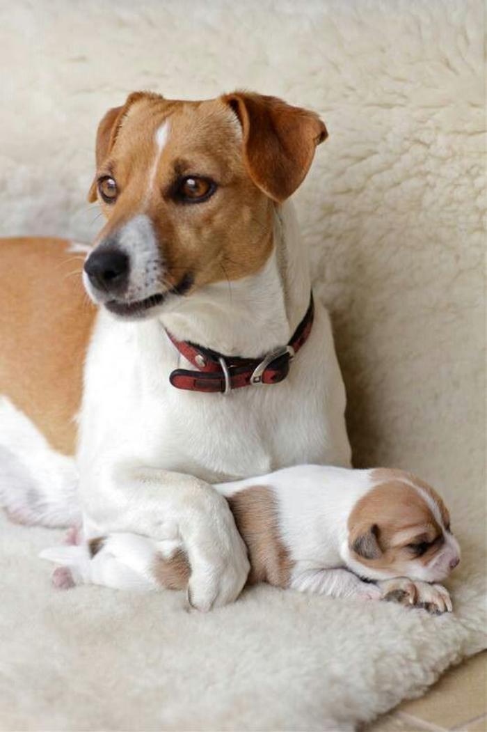 jack-russell-maman-avec-bébé
