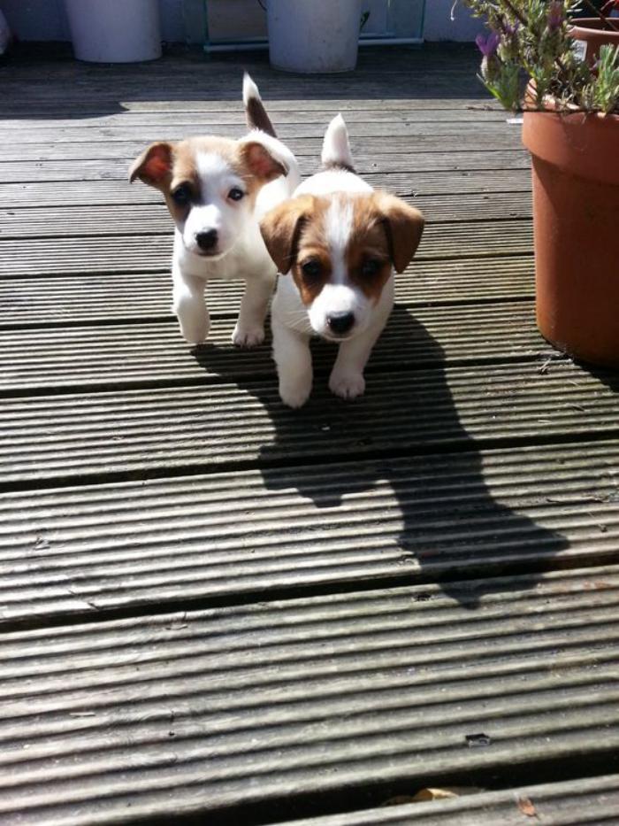 jack-russell-petit-chiens-de-la-race-jack-russell