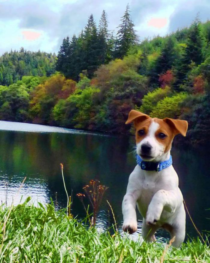 jack-russell-photo-jack-russell
