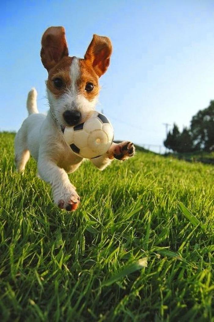 jack-russell-photos-jack-russel