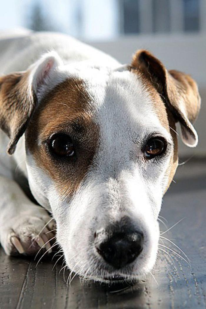 jack-russell-qui-adore-les-hommes