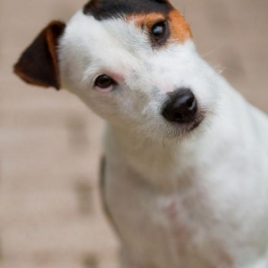 Le jack russell terrier - un chien adorable que vous allez aimer tout de suite