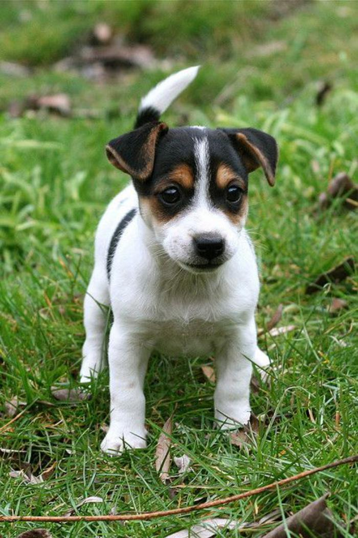 jack-russell-sympathique-chien-jack-russell