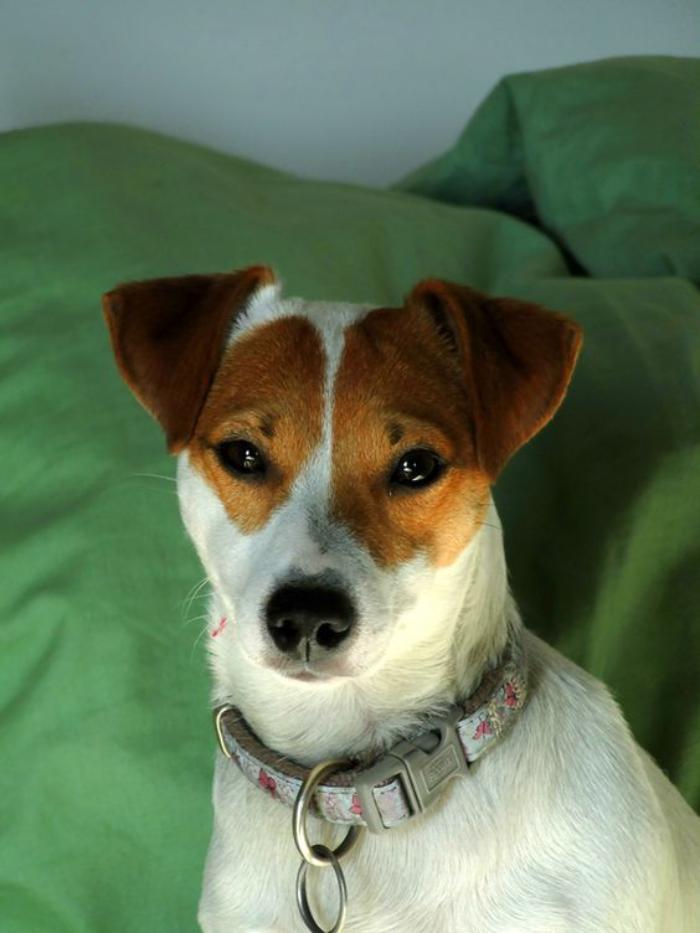jack-russell-terrier-blanc-et-marron