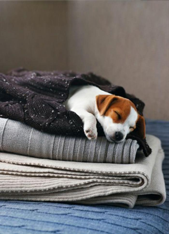 jack-russell-terrier-chiot-jack-russel