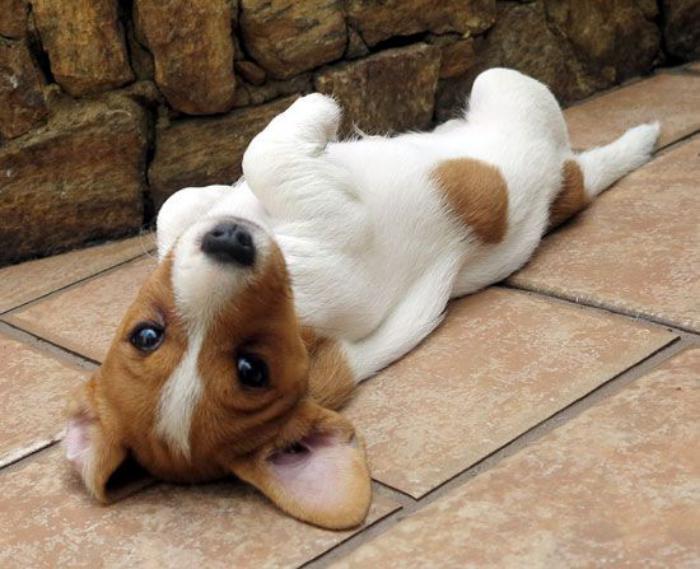 jack-russell-un-chien-content-et-énergique