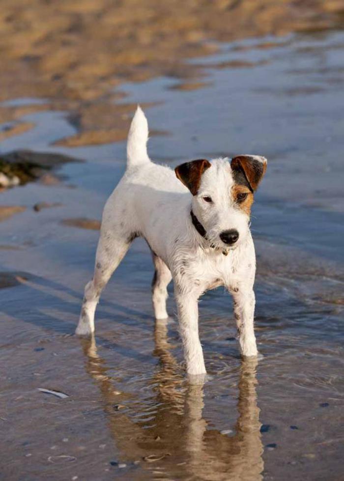 jack-russell-un-chien-jack-russel-dans-l'eau