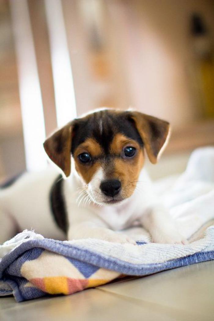 jack-russell-un-chien-phénoménal