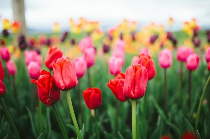 joie-de-voir-paysage-belles-images-nature-épreuve-magnifique-tulips