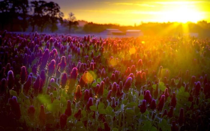 le-coucher-du-soleil-fleur-de-beauté-en-violet-peleuse-photo-d-un-paysage-clairière-montagnes
