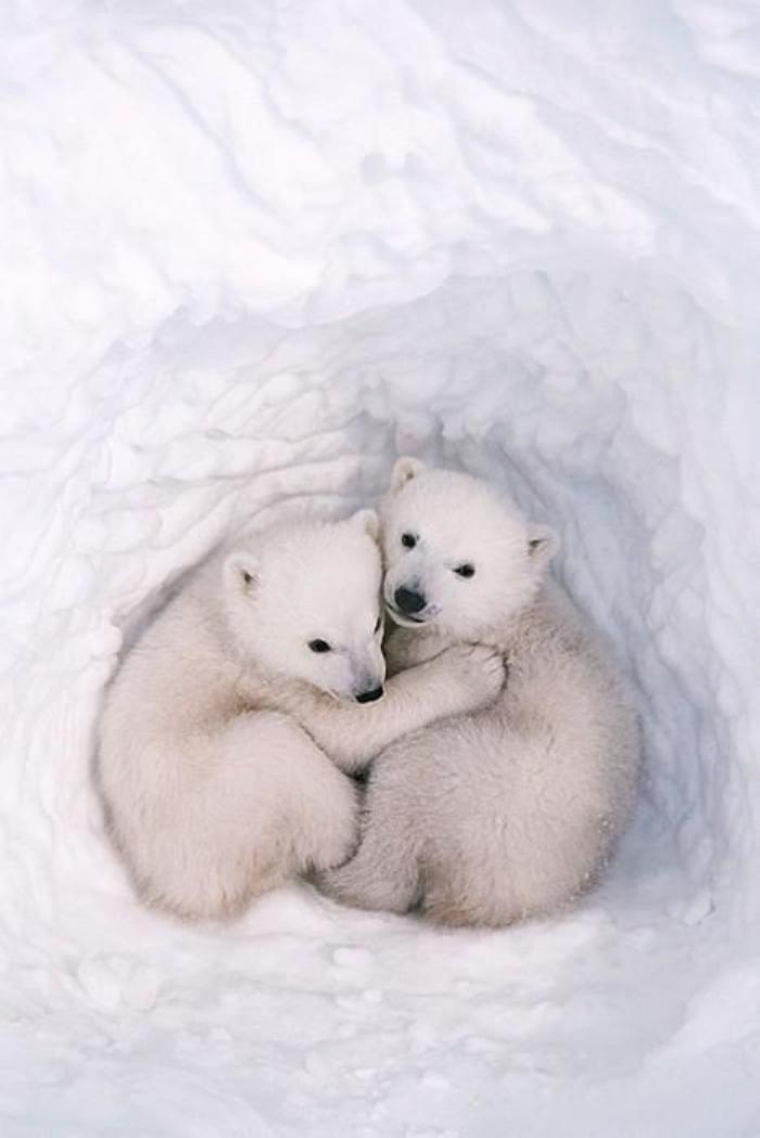 ours-polaire-accolade-d'amitié-entre-deux-petits-oursons-blancs