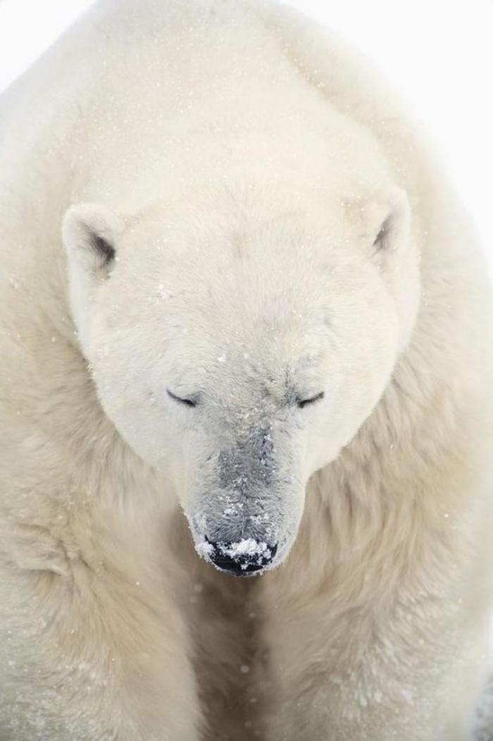 ours-polaire-carnivore-géant-ours-arctique