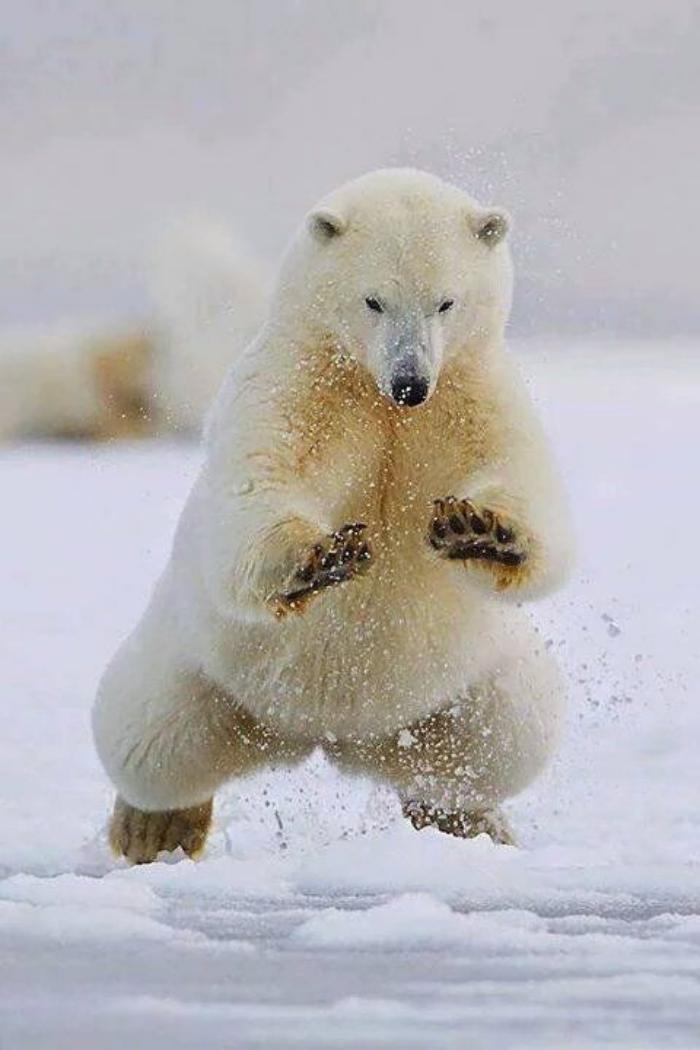 ours-polaire-coureur-parfait-et-nageur-impressionnant