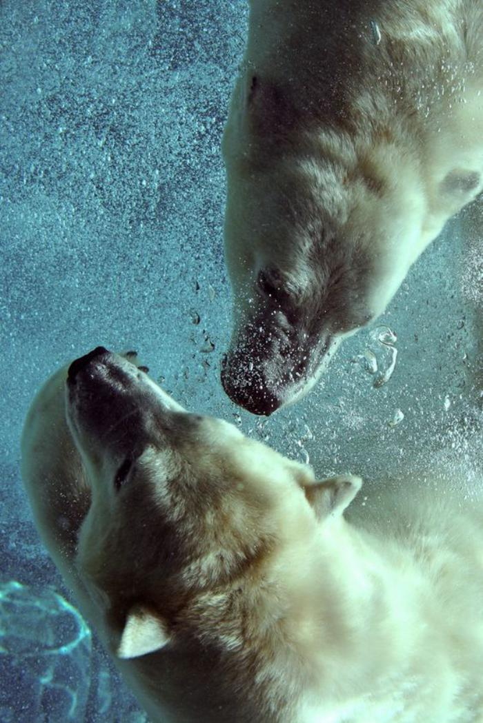 ours-polaire-deux-ours-polaires-nageant-dans-l'eau