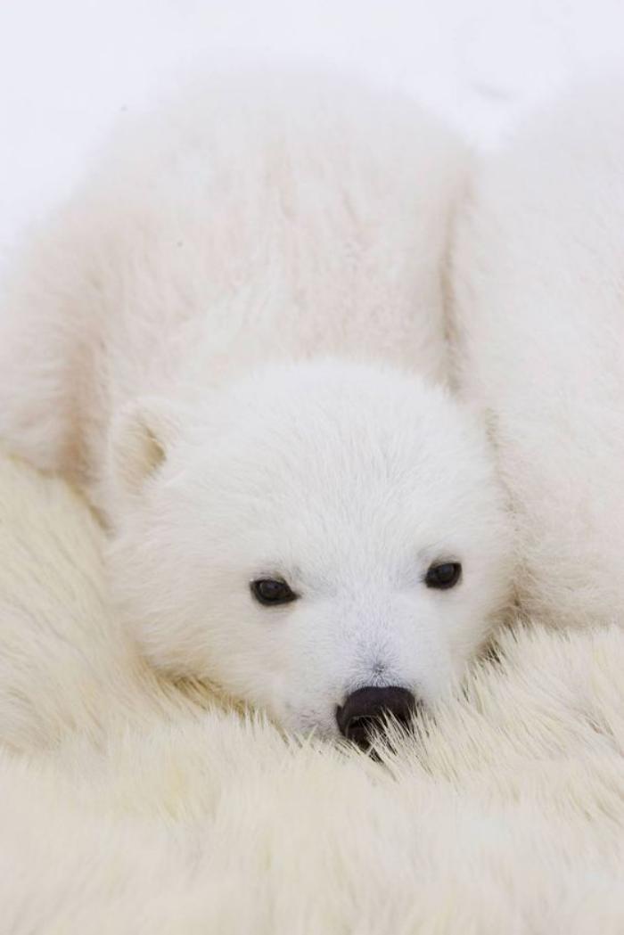 ours-polaire-dormir-sur-la-fourrure-de-maman