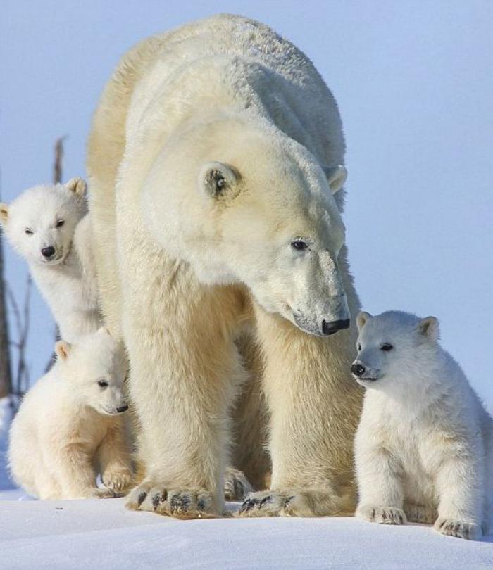 ours-polaire-femelle-avec-trois-oursons